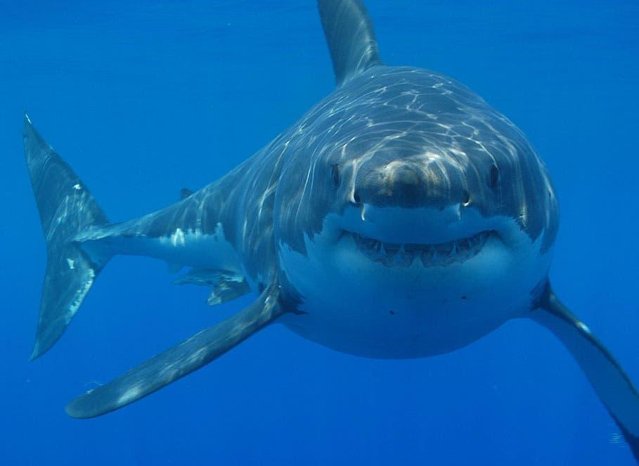 Los tiburones realizan largos viajes migratorios navegando a través de  campos magnéticos