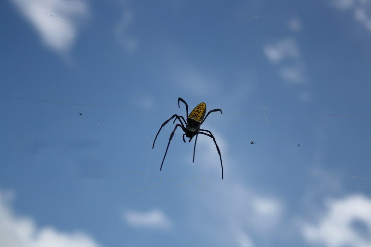 Las arañas vuelan cientos de kilómetros usando la electricidad de la Tierra