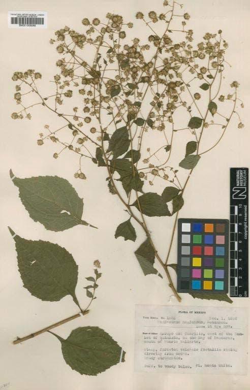 Ynés Mexía, botánica olvidada
