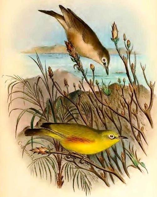 Anteojitos de la Marianne (Zosterops semiflavus): una especie extinta a causa del cultivo de aceite de coco