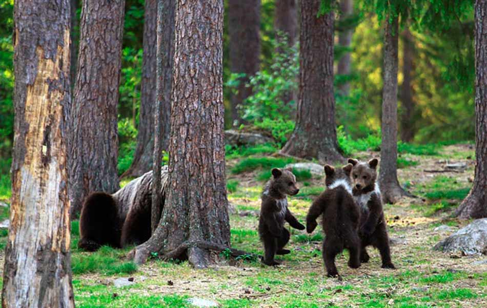 osos finlandia juego