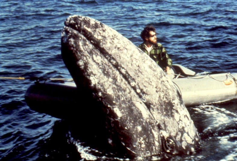 gray-whale-with-boat