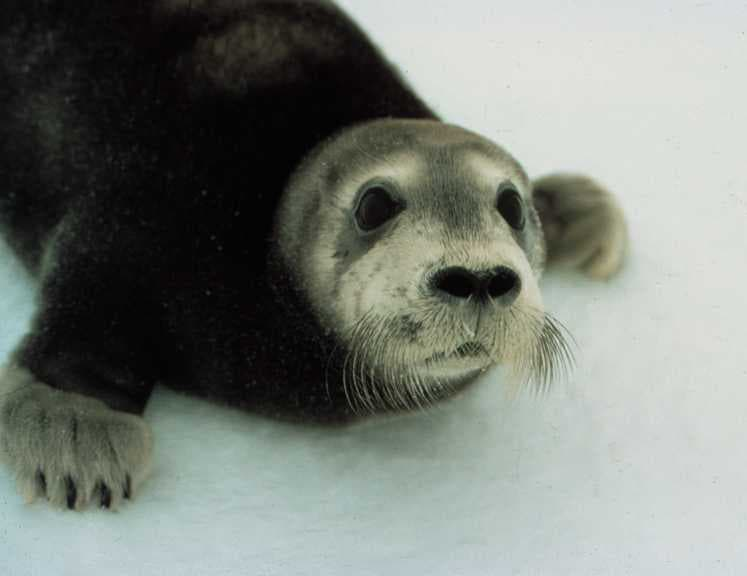 bearded_seal