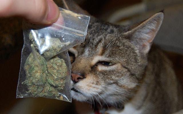 Un gato regresa a su casa cargando una bolsa con marihuana y su ...
